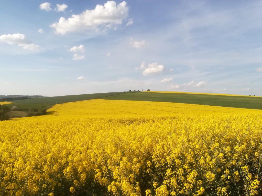 Frühling Rapsfeld